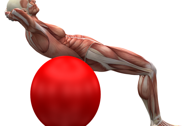 musculature image